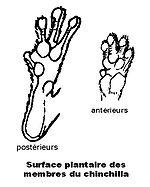 Dessous des pattes avec d'épais coussinets plantaires
