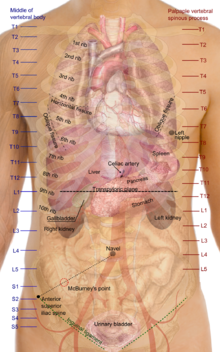 Surface projections of the organs of the trunk.png