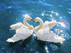 SwansCygnus olor edit2.jpg