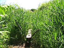 Two wooden posts set in the ground and crossing at an angle support a wooden board which disappears into tall green reeds