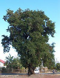 Allure générale d'un vieil arbre, à la Réunion