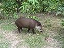 Tapir colombia.JPG