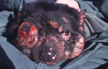 A black devil with several pink-red coloured tumours growing on many parts of its body. The two largest are one covering where its right eye is, and another below the left eye. The right eye is no longer visible and both of these are around one-third the size of a normal devil face. It is lying on a green fabric.