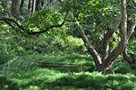 Tatoi King's Forest.jpg