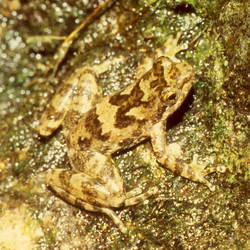 Taudactylus eungellensis