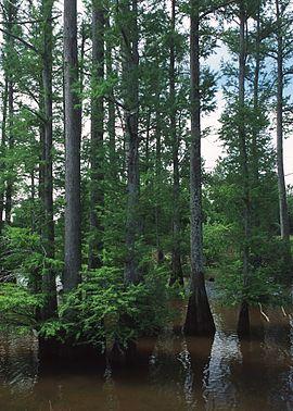 Taxodium distichum NRCSMS01010.jpg