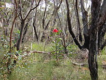 A shrub with a brilliant red flowerhead growing above grass among gum trees with blackened trunks from a bushfire