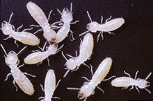 Agricultural Research Service scientists have developed a more affordable method to track the movement of termites using traceable proteins.