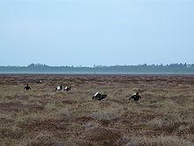 7 Tétras lyre mâles regroupés sur une aire de parade, leur queue blanche présentée en éventail, bien en évidence.