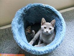 A Thai Lilac Kitten.
