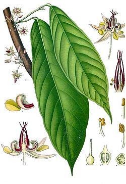 Cacaoyer (Theobroma cacao)
