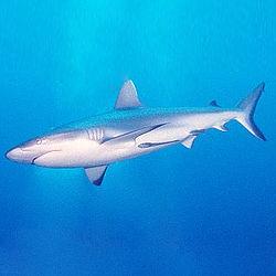 Tiburón.jpg