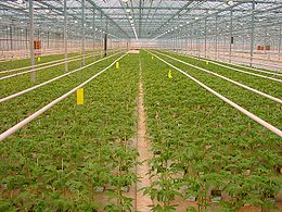 TomateJungpflanzenAnzuchtNiederlande.jpg