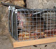 Un rat brun en gros plan capturé dans un piège à trappe grillagé