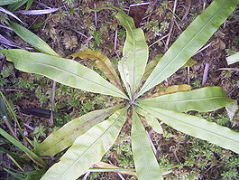 TriphyophyllumPeltatumTopview.jpg