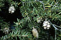 Tsuga canadensis cones.jpg