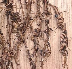 stikstofwortelknolletjes op tuinboon