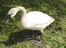 Tundra.swan.750pix.jpg