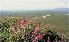 Toundra sur les plaines côtières de l'Alaska. Au premier plan, floraison de Epilobium fleischeri.