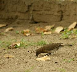 Turdus ignobilis en Colombie