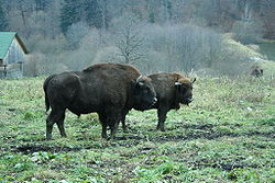 Bison d'Europe (Bison bonasus)