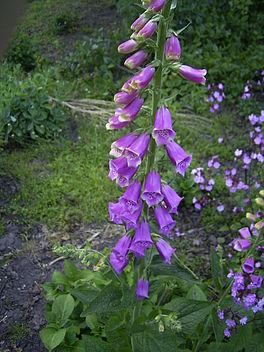 Vingerhoedskruid plant