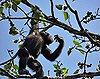 Voa Guinea chimpanzee picking 30jan08.jpg