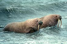 Photo of two walruses in shallow water facing shore