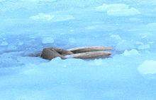 Photo of walrus in ice-covered sea