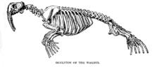 Drawing of walrus skeleton
