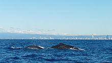 Photo of whales at surface with buildings in the background