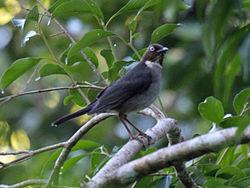 Turdus jamaicensis