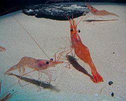 Crevettes de la famille des Palaemonidae