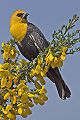 Yellow headed blackbird - natures pics.jpg