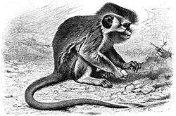 Talapoin (Miopithecus talapoin)