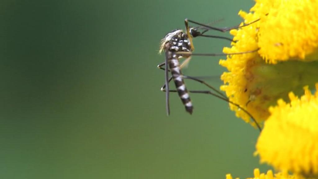 Aedes (Finlaya) geniculatus on Tanacetum vulgare.ogv