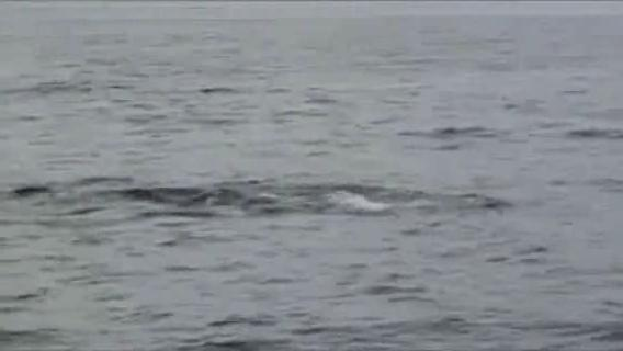 Boston Whale Watch Aug 2009.ogv