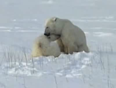 Cub polar bear is nursing 2.OGG