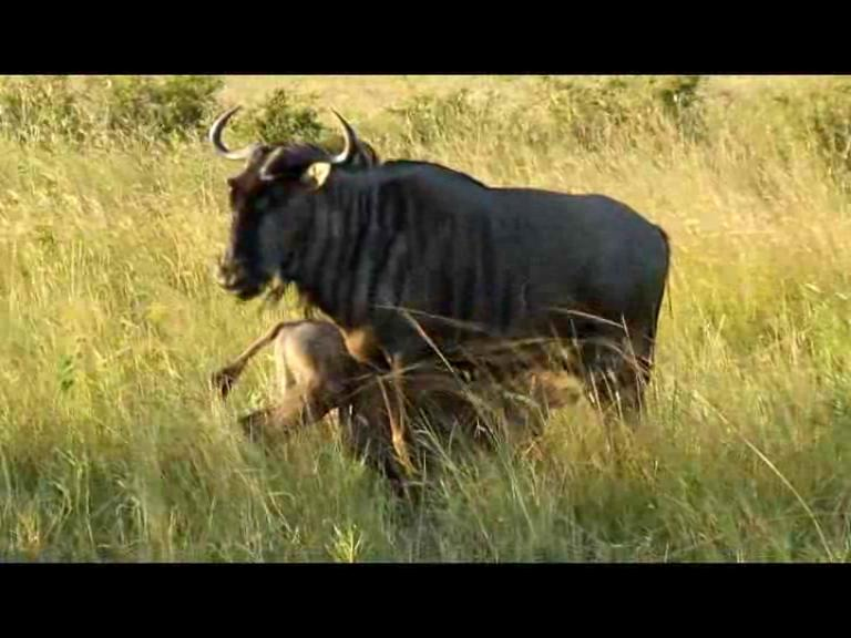 Drink From Mom Wildebeest.ogv