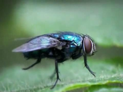 Fly cleaning.ogv