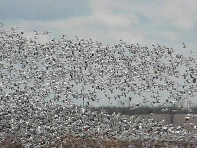 Greater Snow Geese.ogg