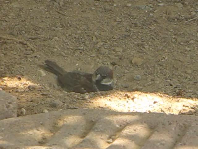 House Sparrow dust bath.ogv