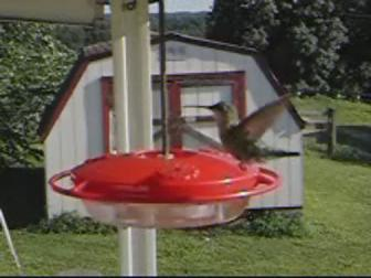 Hummingbird hovering in mid-air.ogv