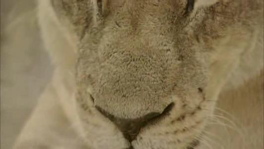 Lion.ogv