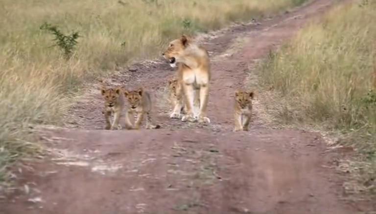 Lion Cubs Phinda 2011.ogv