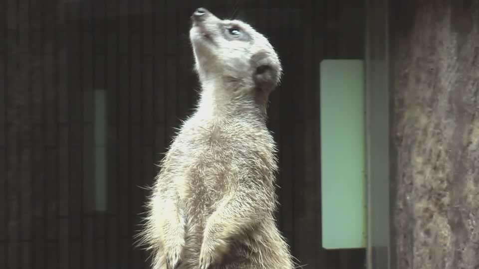 Meerkat-uenozoo2008.ogg