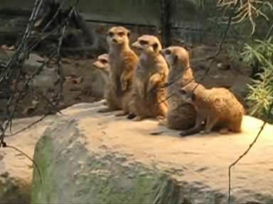 Meerkat Family.OGG