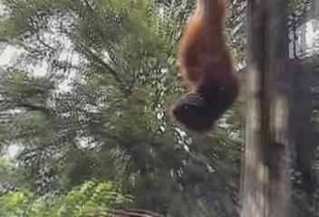Orangutans.ogg