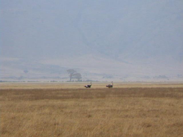 Ostrich running.ogv
