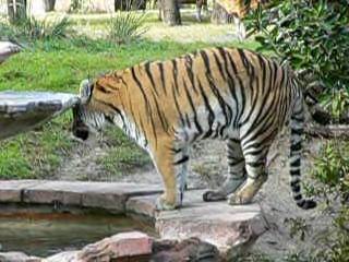 Panthera tigris1.ogg